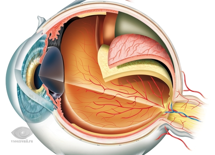 Cосудистая оболочка глаза, строение, функции.